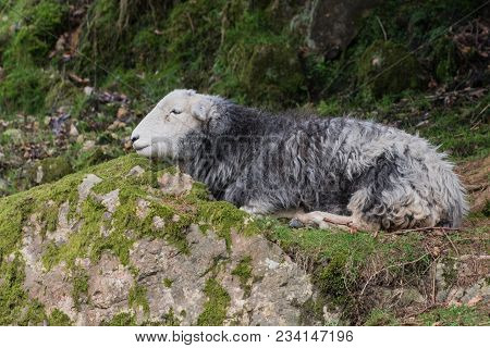Herdwick Sheep Resting In The Lake District. Herdwick Are A Breed Of Sheep Native To The Lake Distri