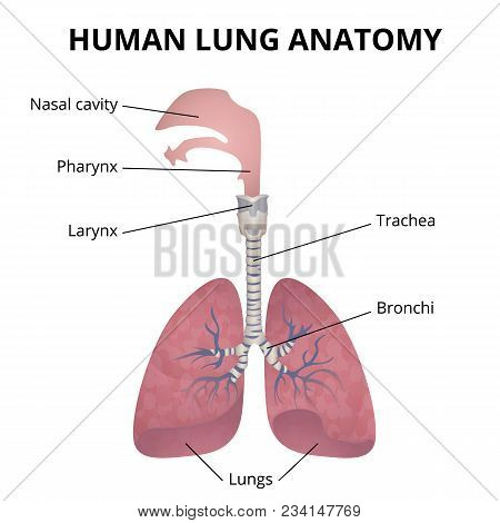 Human Lungs, Trachea And Nasopharynx, Medical Poster With Explanations
