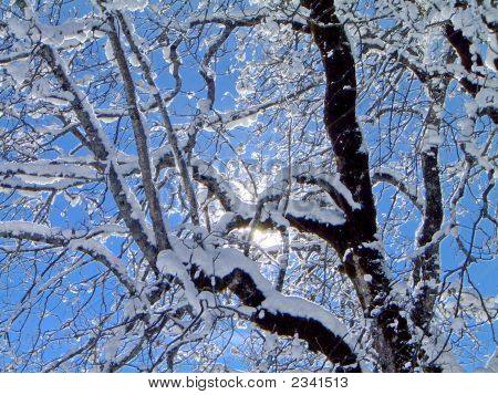 Snow Covered Maple Tree Against Sun And Blue Sky