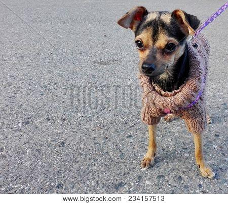 Chihuahua Dog Walking Outdoor. Funny Black Hair Chihuahua Dog With Leash. Tiny Chihuahua Dog Standin