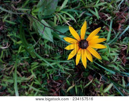Black Eyed Susan Or Rudbeckia Flowers (rudbeckia Fulgida). One Yellow Flower Black-eyed Susan On Gre
