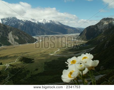 Mount Cook Flower