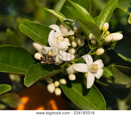 A Honeybee Collecting Pollen On A Orange Tree Blossom. Colse Up.