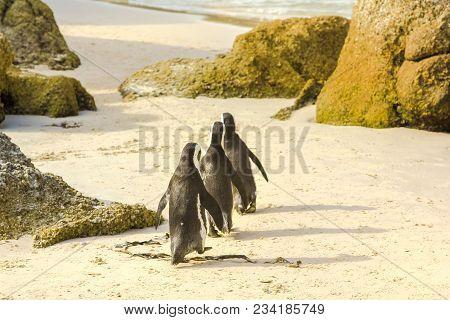 Penguins Walking In Boulder Beach