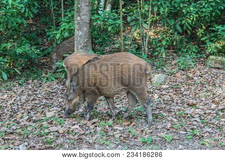 Young Wild Boar (scientifical Name Sus Scrofa) Digging With His Snout On The Forest Floor In Nature