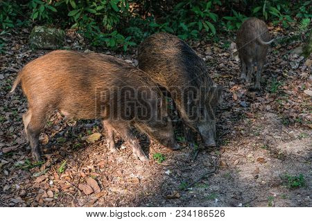 Young Wild Boar (Scientifical name Sus Scrofa) digging with his snout on the forest floor in nature park of hong kong poster