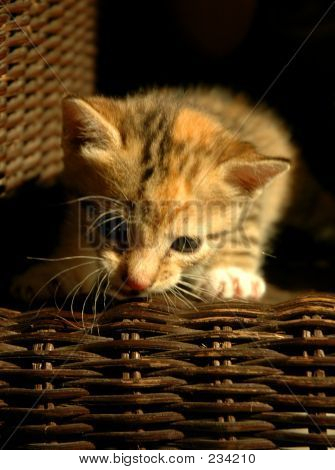 9309 Kitten On Basket