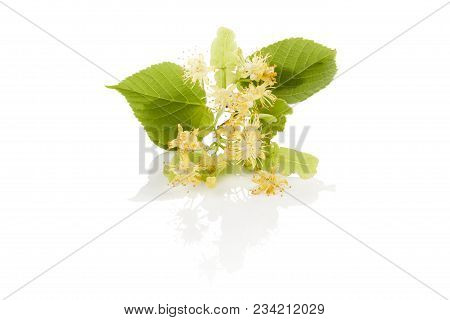 Branch Of  Linden Flower With Leaves Isolated On White Background. Herbal Remedy.