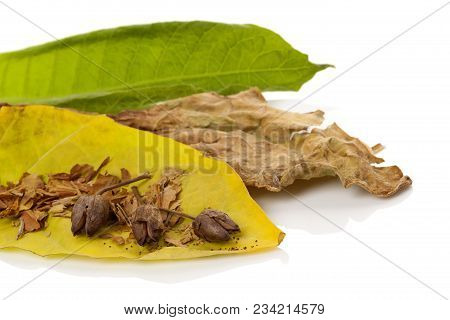 Tobacco Dried Blossom With Dried And Fresh Tobacco Leaves Isolated On White Background.