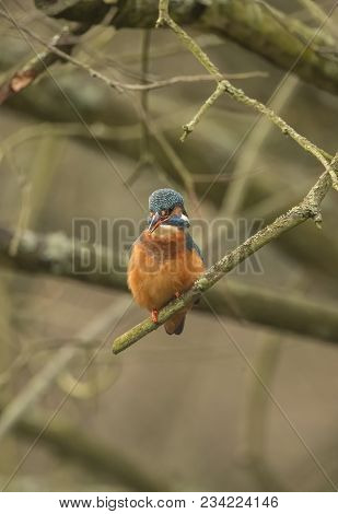 Kingfisher, Perched On A Branch Over A Loch, Close Up