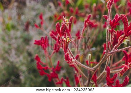 Anigozanthos, Kangaroo Paw, Native Australian Grass In Kingston Beach, Tasmania