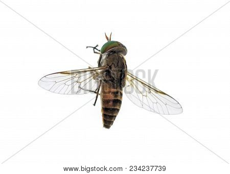 Top Of A Horse-fly, A True Fly In The Family Tabanidae In The Insect Order Diptera. They Are Often L