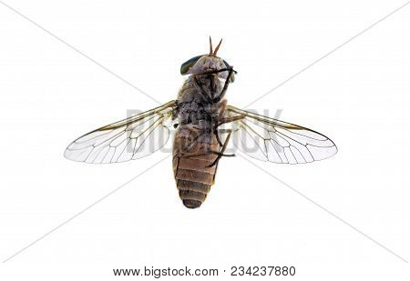Bottom Of A Horse-fly, A True Fly In The Family Tabanidae In The Insect Order Diptera. They Are Ofte