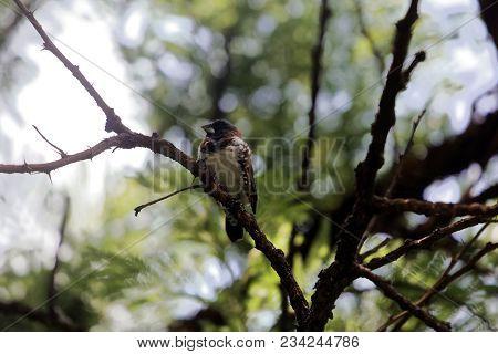 A Bronze Mannikin Or Bronze Munia (lonchura Cucullata) In A Forest Tree.