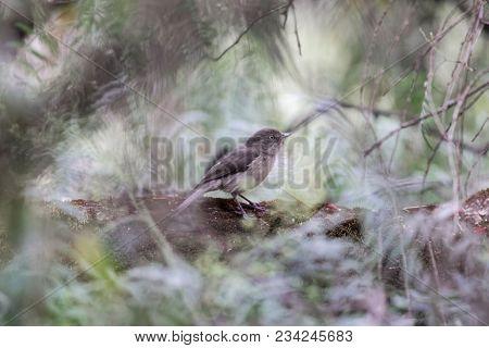Abyssinian Slaty Flycatcher (melaenornis Chocolatinus) In A Forest Tree.