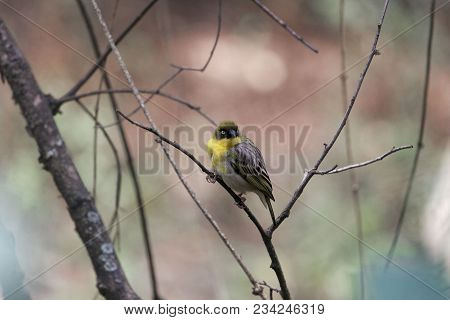 Northern Masked Weaver Bird (ploceus Taeniopterus)