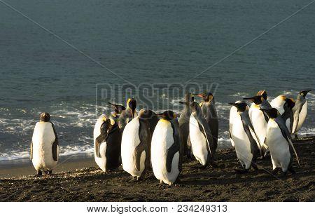 Group Of King Penguins On Black Sand