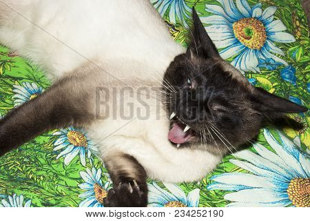 Siamese cat in a fury bared his fangs. poster