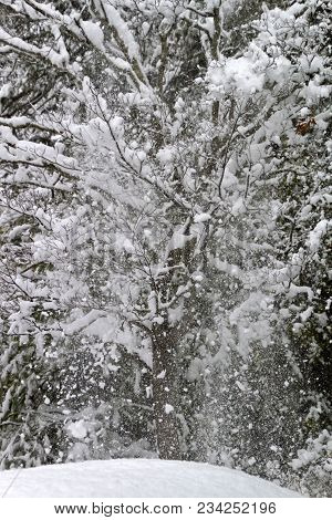 An Explosion Of Snow Cascades Off The Tangled Branches Of A Denuded Dogwood Tree In Winter