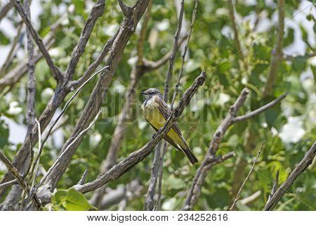 Western Kingbird In The Badlands In Badlands National Park In South Dakota
