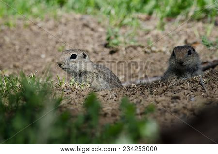 Two Little Ground Squirrels Peeking Over The Edge Of Its Home