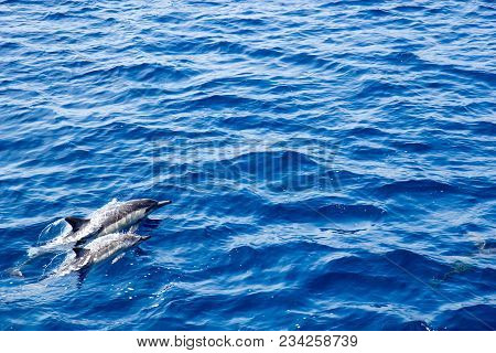 Two Dolphins Accelerating In Ocean Water For A Next Jump, Southern California
