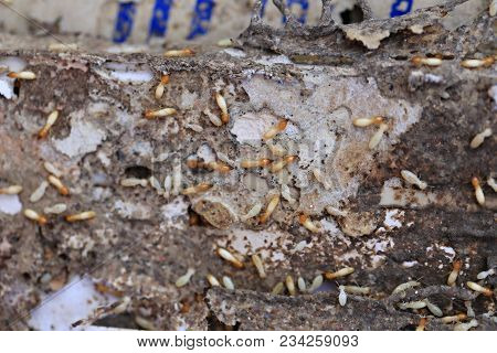 Termites Eating Wood And Dangerous And Disturbing Insects Of The House.