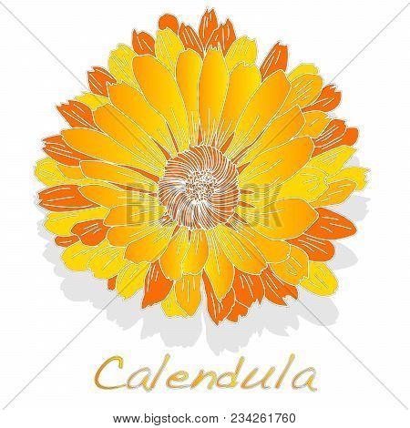 Calendula. Medical Herb Illustration Isolated.