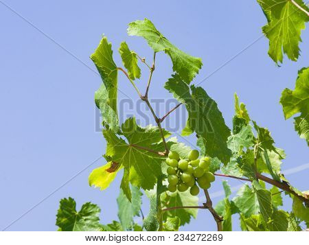 Bunch Of Green Unripe White Grapes In Leaves Growing On Vines Against Blue Sky Close-up, Selective F