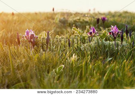 Wild Violet Iris Flower Growing In Nature, Summer Seasonal Floral Sunny Background. Flowers Growing