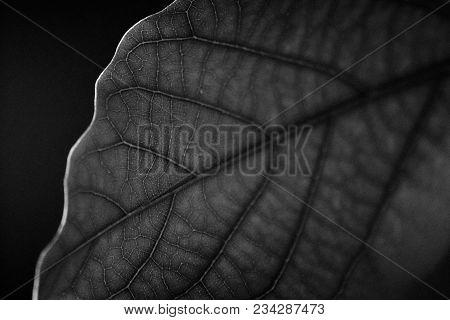 Black And White Leaf With Veins Visibly In Focus, Natural Leaf Veins, Leaf Veins, Close Up Of Leaf,