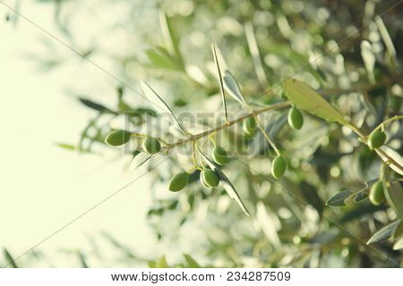 Olive trees in Italy, harvesting time. Olive trees garden, mediterranean olive field ready for harvest. Olive grove. Raw ripe fresh olives.