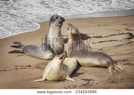 Elephant Seals On The Beach At Piedras Blancs, California, Apparently Having A Conversation. Miroung