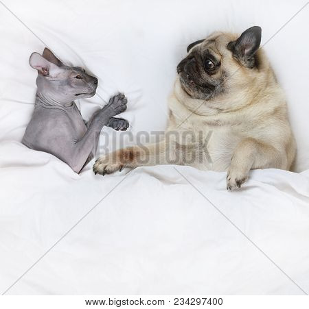 Pug Dog Lying In Bed With A Hairless Don Sphinx Cat