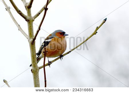 Chaffinch - A Passerine, Fringilla Coelebs, At Rest In A Tree