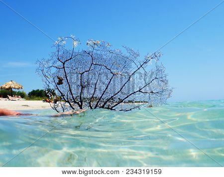 Detailed Black Sea Fan Coral. Black Coral Sea Fan On The Sea At Ancon Beach, Trinidad, Cuba