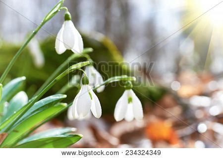 Snowdrops First Spring Flowers And Sun Light With Rays In The Forest