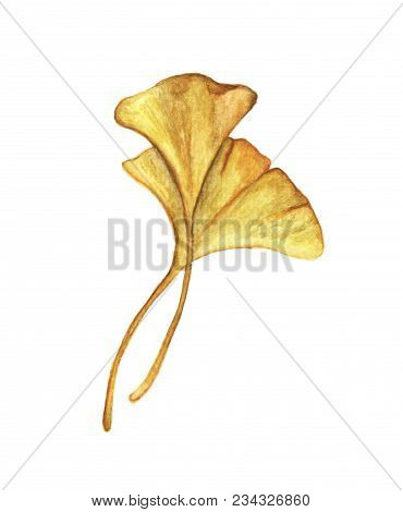 Yellow Leaves, Ginkgo Isolated On White Background. Autumn Botanical, Watercolor Illustration.