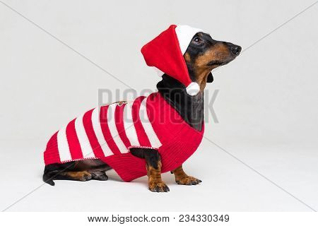 Dog Of The Dachshund Breed, Black And Tan, In A Christmas Cap And Sweater, Isolated On A Gray Backgr
