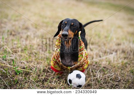Dog Of The Dachshund Breed, Black And Tan, Dressed In A Sweater Playing With A Soccer (football) Bal