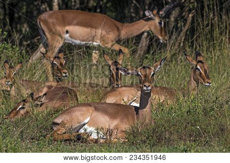 Impala Buck Resting In Green Grass In Front Of Trees
