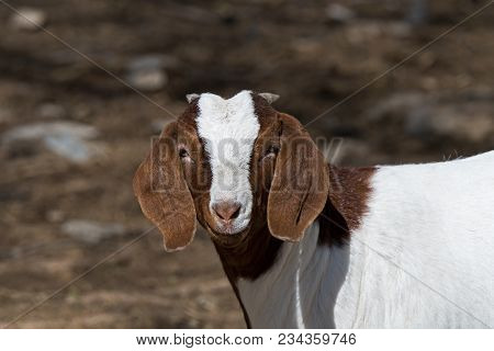 Boer goat in a pasture. This breed of goat that was developed in South Africa in the early 1900s for