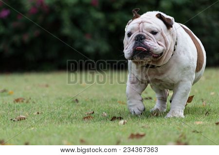 Motion Blurred Of White English Bulldog Run On The Grass At Public Park And Show Tounge With Copy Sp