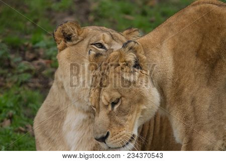 Close-up Photo Portrait Of A Pair Of Barbary Lionesses