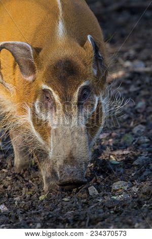 Close-up Photo Of A Red River Hog