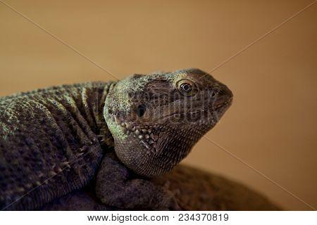 Close-up Photo Portrait Of A Green Iguana