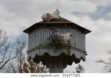 The Domestic Pigeons At Their Dovecote