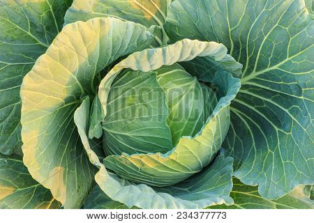 Fresh Young Green Cabbage In Vegetable Farm In Northern Of Thailand