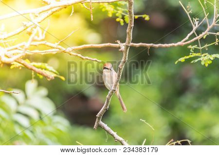 Bird (brown Shrike) On Tree In A Nature Wild