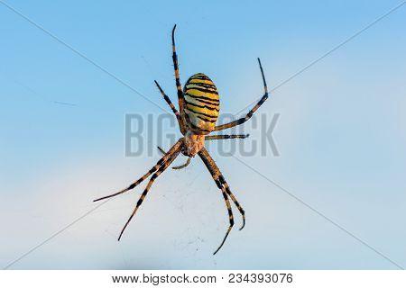 A Female Spider Of Argiope Bruennichi Sits In His Web Against The Blue Sky